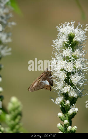 A Moth Fluttering in a Garden of White Flowers on a Sunny Day in Spring - Stock Photo