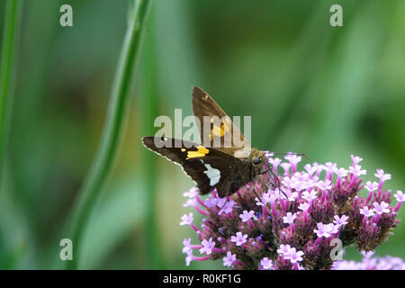 A Moth Fluttering in a Garden of Purple Flowers on a Sunny Day in Spring - Stock Photo