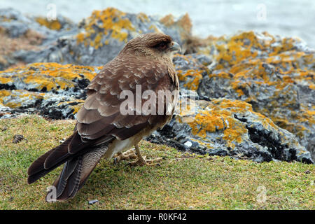 Closeup view of a chimango caracara in Tierra del Fuego National Park, Argentina - Stock Photo