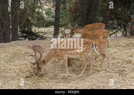 A group of four fallow deer Dama Dama grazing in the forest. Wildlife scene from nature. Safari Aitana, Penaguila, Spain. - Stock Photo