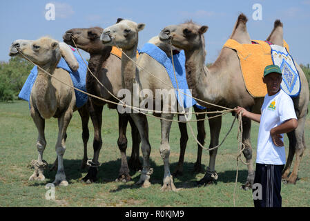 The bactrian camels for tourists riding in steppe, Astrakhan, Russia - Stock Photo