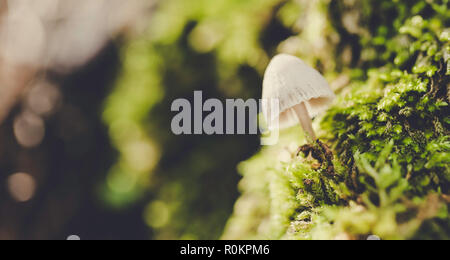 Macrolepiota procera, umbrella-shaped mushroom on green and moist moss - Stock Photo