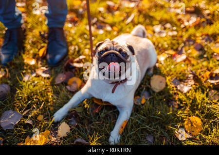 Master walking pug dog in autumn park. Happy puppy sitting on grass by man's legs. Dog resting outdoors