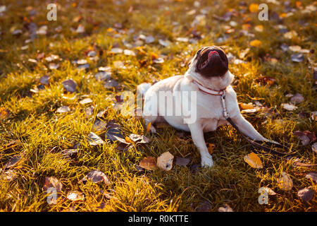 Pug dog walking in autumn park. Happy puppy sitting on grass and showing tongue. Dog resting - Stock Photo