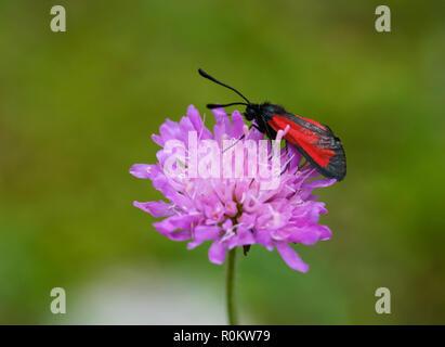 Transparent burnet (Zygaena purpuralis), on flower of field widow flower, National Park Theth, Albanian Alps, Albania - Stock Photo