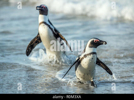 African penguins walk out of the ocean on the sandy beach. African penguin also known as the jackass penguin and black-footed penguin. Sciencific name - Stock Photo