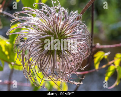 Clematis Seed Head - Stock Photo