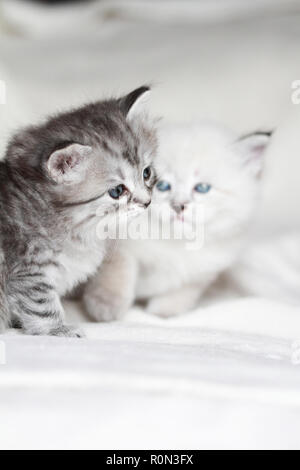 Beauty puppy cats in winter time, siberian breed - Stock Photo