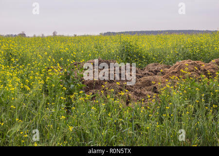 Late autumn. A large pile of fertilizer from cow dung and straw on the field of blooming yellow mustard (Sinapis alba). Podlasie, Poland. - Stock Photo