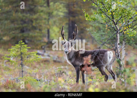 Reindeer, Rangifer tarandus walking in forest, having big antlers, looking in to the camera, Gällivare county, Swedish Lapland, Sweden - Stock Photo