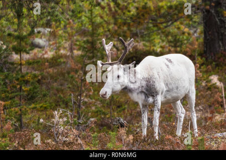 White Reindeer, Rangifer tarandus walking in forest, having big antlers, Gällivare county, Swedish Lapland, Sweden