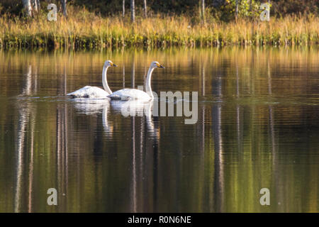 Two Whooper swans, Cygnus cygnus, swimming in a lake and the trees reflecting in the water, Gällivare county, Swedish Lapland, Sweden - Stock Photo