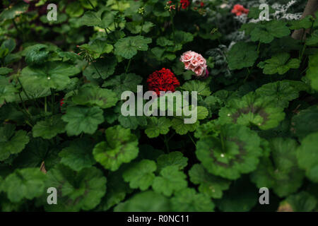 French geranium flowers in a playground in Córdoba - Stock Photo