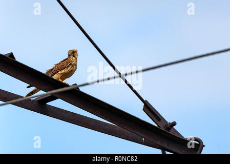 Common kestrel or Falco tinnunculus perches against blue sky background - Stock Photo