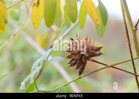 Glycyrrhiza yunnanensis. Yunnan licorice seed pod in autumn. UK - Stock Photo