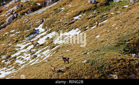 Chamoises (Rupicapra rupicapra) grazing in first snow on last remains of grass in Alpstein - Appenzell Alps, Switzerland - Stock Photo