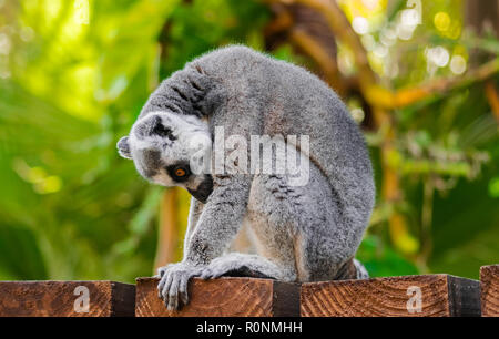 ring-tailed lemur (Lemur catta) sitting on wooden surface  and looking down, with jungle vegetation background - Stock Photo