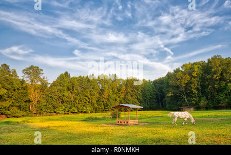 A single appaloosa horse grazing in a golden and green pasture with trees and a blue sky with white clouds - Stock Photo