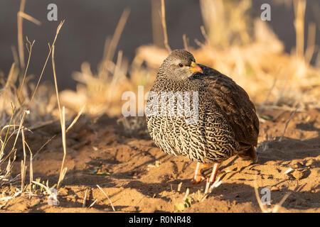 Frontal view of single adult Natal Spurfowl formely Natal Francolin Kruger National Park South Africa enjoying early morning sunshine - Stock Photo