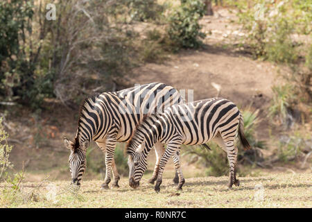 Mother and foal Burchells Zebra, Equus quagga burchellii, grazing next to river in Kruger National Park, South Africa - Stock Photo