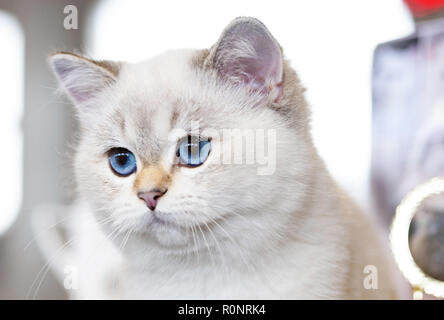 Portrait of a British Cat white color with blue eyes. - Stock Photo
