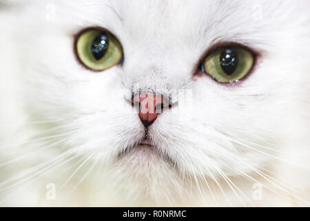Portrait of a Norwegian forest cat of white color. - Stock Photo