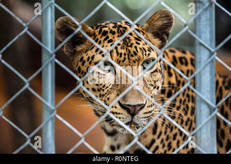 Leopard is in the cage in the zoo. - Stock Photo