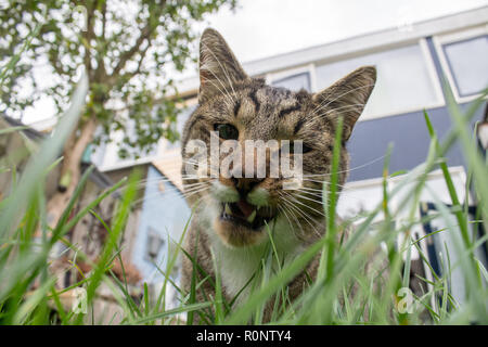 Cat eating fresh grass in the back yard. You can clearly see his eating in action with his teeth exposed.