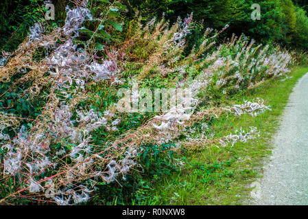 Fireweed, Rosebay willow-herb, Great willow-herb (Epilobium angustifolium, Chamerion angustifolium), growing wild beside counrty path - Stock Photo
