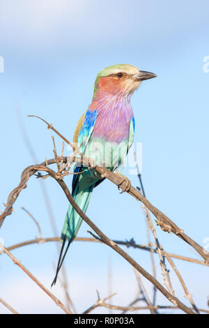 Close-up of a lilac-breasted roller (Coracias caudatus) perched on a twig, Okavango delta, Botswana - Stock Photo