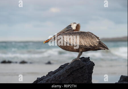 Brown Pelican (Pelicanus Occidentalis urinator) perching on a lava rock, a subspecies endemic to Galapagos, Isabela Island, Galapagos Islands, Ecuador - Stock Photo