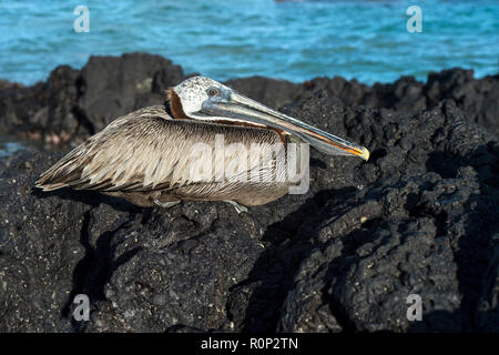 Brown Pelican (Pelicanus Occidentalis urinator), a subspecies endemic to Galapagos, resting on lava rocks, Isabela Island, Galapagos Islands, Ecuador - Stock Photo