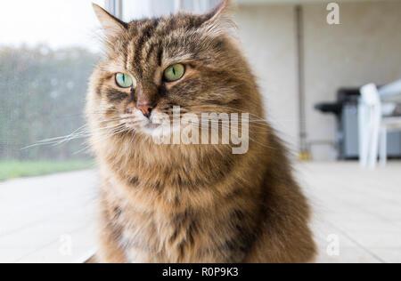 Curious livestock cat looking outdoor, funny pet - Stock Photo