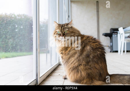 Tabby livestock cat at the window, curious pet - Stock Photo