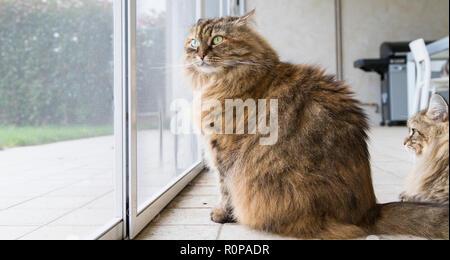 Brown livestock cat at the window, curious pet - Stock Photo
