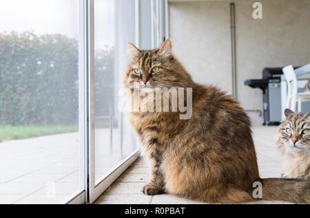Beautiful livestock cat at the window, curious pet - Stock Photo