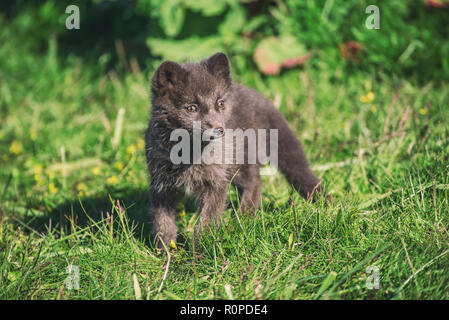 Beautiful wild animal in the grass. Arctic Fox cub, Vulpes lagopus, cute animal portrait in the nature habitat, grassy meadow in Iceland - Stock Photo