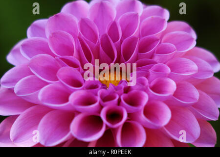 Bright wedding bouquet of summer dahlias pink, flower, macro photo. - Stock Photo