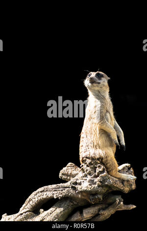 The meerkat sits on a tree branch with a funny expression. Funny meerkat close-up isolated on a black background. - Stock Photo
