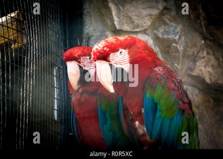 Multicolored Ara parrots sit on a branch in a cage in a zoo with an evil expression - Stock Photo