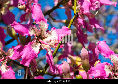 Close up view of the flower of a Silk Floss tree (Ceiba Speciosa), California - Stock Photo