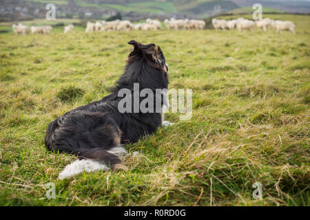 A tri-coloured border collie lying in a field watching over a flock of sheep in the distance. - Stock Photo