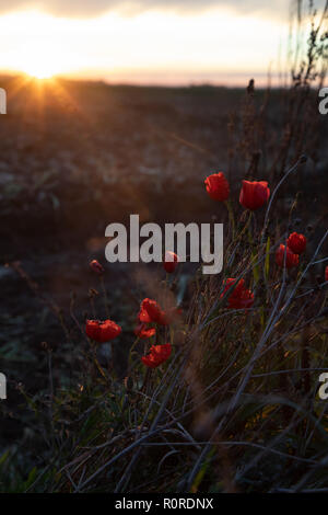 November 4, 2018: Picardy, France. A bunch of wild red poppies growing on the Somme battlefield in France as the sun sets - Stock Photo