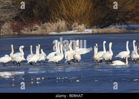 Migrating Tundra Swans on ice - Stock Photo