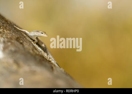 Australian outback skink sits alert and cautiously sun-baking in the morning sun warming itself ready for the day's food gathering and exploration. - Stock Photo