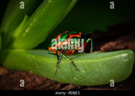 Green jewel bug, Scutiphora pedicellata, on plant, found around the eastern coast of Australia - Stock Photo