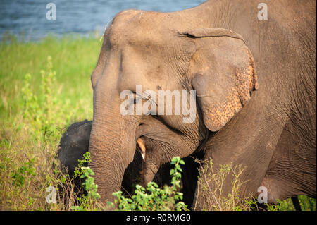 Young female Indian Elephant (Elephas maximus indicus) with calf in natural habitat. Closeup  of Mother and baby, feeding in long grass. - Stock Photo