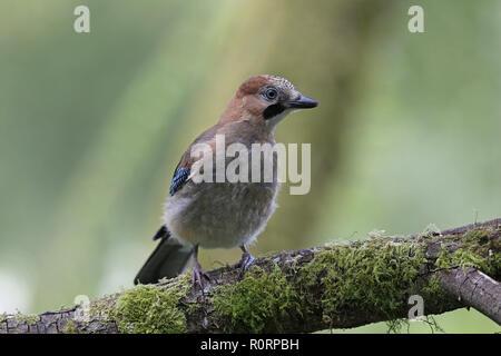 Young Eurasian Jay, Garrulus glandarius - Stock Photo
