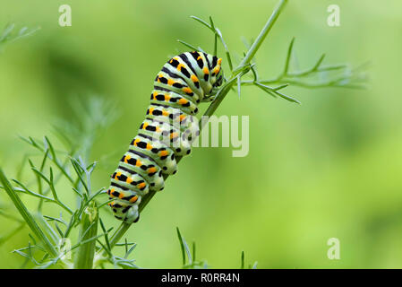 Caterpillar of the Papilio Machaon swallowtail butterfly on a fennel stem - Stock Photo