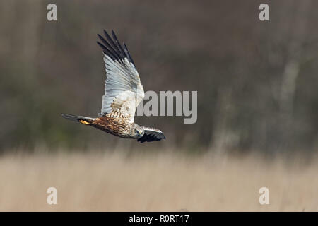 Marsh Harrier,Circus aeruginosus,  male in flight over marshland - Stock Photo